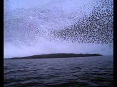 "BEST VIDEO OF 2011.    A short film that follows two girls in a canoe on the River Shannon and how they stumble across one of nature's greatest phenomenons; a murmuration of starlings.    A murmuration is a...    /merr'meuh ray""sheuhn/, n.    1. an act or instance of murmuring.    2. a flock of starlings."