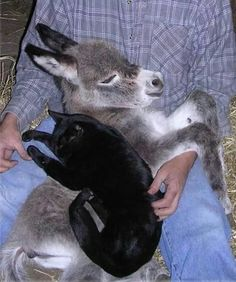 Baby donkey and cat friend.