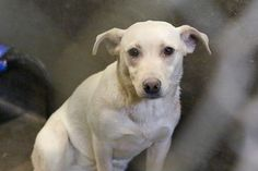 Chi/Lab mix female 1-2 year old Kennel A1 $51 to adopt Meet LadyBug! She is PREGNANT!!!!! She needs out ASAP! She looks like a lab but she is the size of a Chihuahua. Adorable girl!! Please help us share and find her a foster and a rescue. ADOPT/RESCUE/FOSTER Located at Odessa, Texas Animal Control. Must have a valid Drivers License and utility bill with matching address to adopt. They accept Credit Cards, cash or checks. Please send us a PM if we can answer any questions for you.