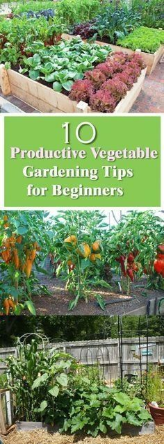 10 Productive Vegetable Gardening Tips for Beginners http://livedan330.com/2015/11/04/10-productive-vegetable-gardening-tips-beginners/ #vegetablegardeningideas