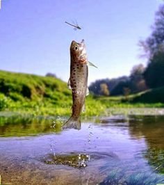 """Trout """"rising"""" for adult dragon fly"""