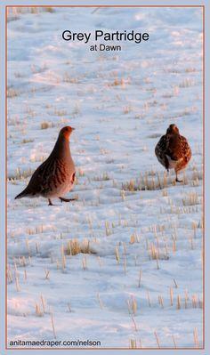 Grey Partridge, Southeast Saskatchewan, Mar 2018. Source: Nelson Draper Kinds Of Birds, All Birds, Grey Partridge, Peafowl, Bird Watching, Old World, Cute Animals, Wildlife, Pheasant