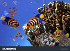 Coral Reef And Tropical Fish Iin The Red Sea, Egypt Стоковые фотографии…