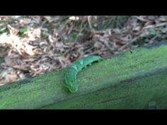 一條龍........姬雙尾蝶幼蟲 - YouTube
