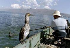 Cormorant fishing - Wikipedia, the free encyclopedia
