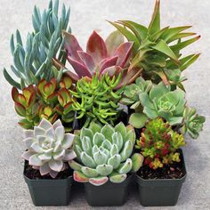Mountain Crest Gardens - Rock Garden Soft Succulent Collection (9), $33.95 (http://mountaincrestgardens.com/rock-garden-soft-succulent-collection-9/)