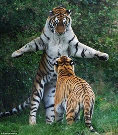 Give me a hug :) Siberian Tiger - Animals Nature Animals, Animals And Pets, Funny Animals, Cute Animals, Wild Animals, Big Cats, Cats And Kittens, Cute Cats, Ragdoll Kittens
