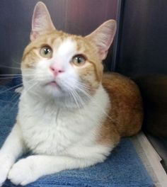 Meet C-63494 Bello, a Petfinder adoptable Domestic Short Hair Cat | Mount Holly, NJ | Bello is a very handsome orange and white tabby who was surrendered for no fault of his own. He is...