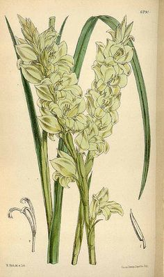 Gladiolus ochroleucus - circa 1877   From our collection of …   Flickr
