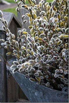 oldandshabby: pussy willows.... (via Pinterest)