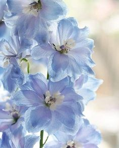 Possibly add a touch of the powder blue delphinium to the bouquets? Delphinium by Bastiaan L. Delphinium Azul, Delphiniums, Delphinium Flowers, My Flower, Beautiful Flowers, Beautiful Gifts, Beautiful Pictures, Blue Aesthetic, Planting Flowers