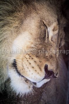 Sleeping Lion Photo Fine Art Photography Animal Photography