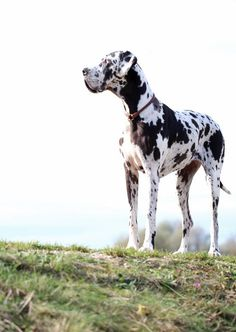 Any old dog can strike a pose and gaze off into  the sunset... 23 Not So Great Danes
