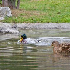 #duck #bird #water #pool #nature #lake #river #wildlife #waterfowl #feather #poultry #mallard #swimming #animal #wild #reflection #beak #outdoors #drake #noperson #panasonic #panasonicfr #lumix #lumixfr #lyon #tetedor #onlylyon