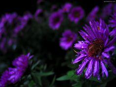 PURPLE FLOWERS WALLPAPERS | PURPLE FLOWERS Scenery Desktop ...