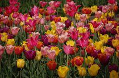 colorful tulips, keukenhof Lisse, the Netherlands