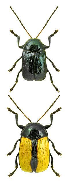 Cryptocephalus marginatus