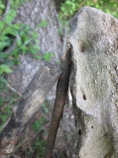Trap For Your Life (Part 9) | Hunting and Trapping Tutorial - DIY Outdoor Survival Skills by Survival Life at http://survivallife.com/two-stick-deadfall-trap/