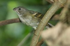 pixoxó_sporophila frontalis Brazilian Birds