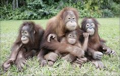 pictures of gorillas and apes and monkeys | STRANGE MONKEYS, GORILLAS & APES - FAMILY PICTURE!