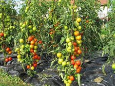 """""""Этот способ выращивания помидоров мне довелось увидеть в прошлом году на одном из соседских участков.  Увиденное просто поразило:На огороде, на расстоянии примерно 1,2 метра друг от друга стояли, ка…"""