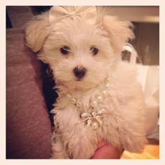 Duchess Maltese Puppy; <3