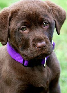 Chocolate Labrador puppy WISH I COULD HAVE A DOZEN OR SO!!!! DEAN