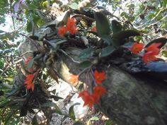 orquideas do mundo: Sophronitis cernua