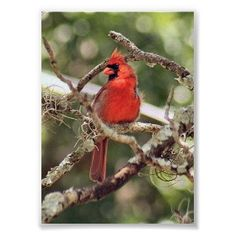I want a cardinal in flight on the front of my right shoulder.
