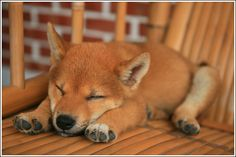 Cute Shiba Inu Puppies... my dream is to own one of these dogs eventually. And a bull dog