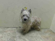 Brooklyn Center  CHRISTIAN - A1014422  MALE, TAN, CAIRN TERRIER MIX, 4 yrs STRAY - STRAY WAIT, NO HOLD Reason STRAY  Intake condition EXAM REQ Intake Date 09/17/2014, From NY 11203, DueOut Date 09/20/2014, https://www.facebook.com/Urgentdeathrowdogs/photos/pb.152876678058553.-2207520000.1411376187./873241222688758/?type=3&theater