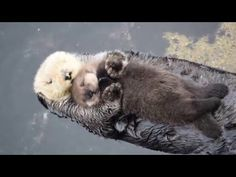 Day Old Otter Pup Falls Asleep On Its Floating Mother's Belly - http://rtds.org/index.php/2016/01/12/day-old-otter-pup-falls-asleep-on-its-floating-mothers-belly/