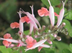 "Scarlet Sage ""Coral Nymph"""