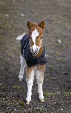 Avatar, an American miniature horse, eight days old.