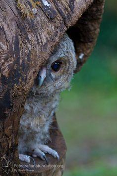 Tawny owl chick.
