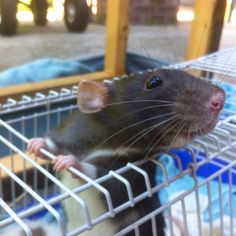 Pandora <3 Funny Rats, Cute Rats, Red Rat, Baby Animals, Cute Animals, Miniature Dogs, Rodents, Animal Quotes, Exotic Pets