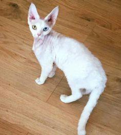 Odd-eyed Jessie Devon Rex, Cool Cats, Jessie, Dog Cat, Cool Stuff, Dogs, Animals, Animales, Animaux