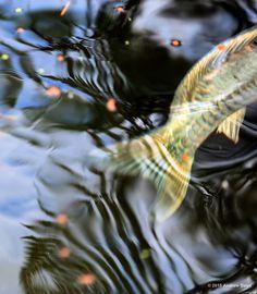 Koi fish tail, Japanese Garden, Portland, Oregon. (Photo copyright 2015 / Andrew Boyd)