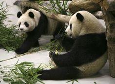 Imágen Oso Panda 12-06-12