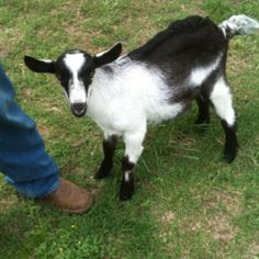 My new 11 week old Alpine goat named Buddy.