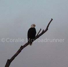 Cool Picture Of Bald Eagle images