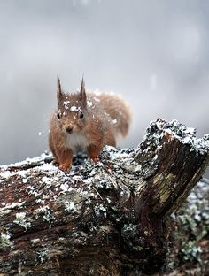red squirrel with snow on it's head by margaret j walker