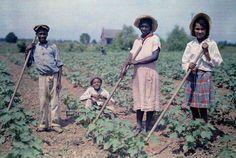 1930. Луизиана – люди на хлопковом поле.