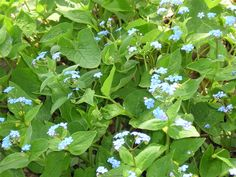 Perennial forget-me-nots.  To order Life Is a Garden Party, go to WestBow Press. To read samples, click on http://lifeisagardenparty.blogspot.com