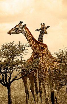 Masai giraffes, N.P. Serengeti
