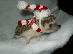 Hedgehog in a Christmas hat... :D