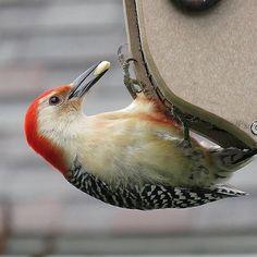 Redbellied woodpecker bird