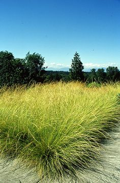 "Festuca mairei - Atlas Fescue ...This is the Festuca in the Oudolf Book ... ""A go to grass for making meadows in a Mediterranean climate.  Arching fountain like foliage is a rich warm khaki green that is a great blending color in western landscapes"""
