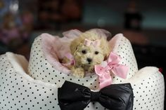 ♥♥♥ Teacup MaltiPoo! ♥♥♥ Bring This Perfect Baby Home Today! Call 954-353-7864 www.TeacupPuppiesStore.com <3 <3 <3 TeacupPuppiesStore - Teacup Puppies Store Tea Cup Puppies Store - TeacupPuppiesStore.com