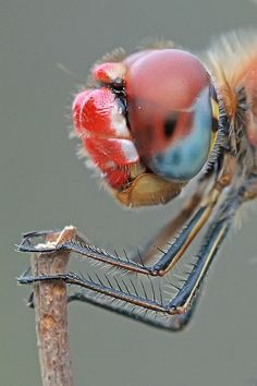 """""""Sympetrum fonscolombii"""" 